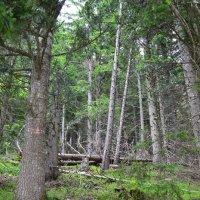 Альпийский лес :: Ольга