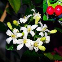 Божественный аромат цветка императоров... :: Андрей Заломленков