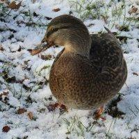 --Снег...переживем...и морозы тоже... :: Galaelina ***