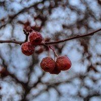 дикие яблоки в морозное утро :: Антон Летов