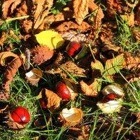 В траве лежали каштаны - созрели, упали, расколот орех... :: Валентина ツ ღ✿ღ