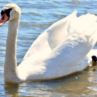 Лебедь белый :: Caren Yvonne Rikkilä