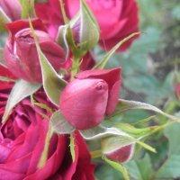 Розы :: Юлия Наимова