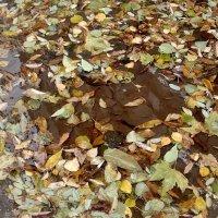 Купались в луже опавшие листья... :: Нина Корешкова