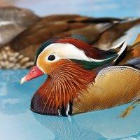 Раскраска утки мандаринки :: Леонид Никитин