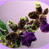 Орхидея Зигопеталум :: Вера