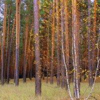 У берез и сосен тихо бродит осень...( Антонов ) :: Валентина ツ ღ✿ღ