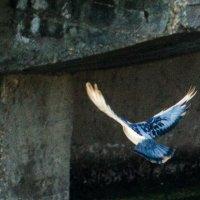 Голубь :: Андрей Страхов