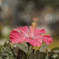 Китайская роза или Гибискус :: Svetlana Galvez