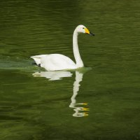 Лебедь :: Дима Пискунов