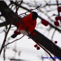 Снегирь :: Андрей