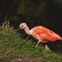 Красный ибис. Scarlet ibis :: Юрий Воронов