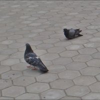 Два голубя на прогулке :: Нина Корешкова