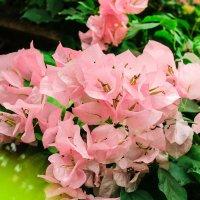 Цветы :: Елизавета Таничева