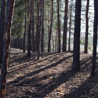 в сосновом лесу :: татьяна