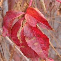 Багряные краски ноября :: Нина Корешкова