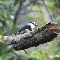 White-necked Puffbird :: чудинова ольга