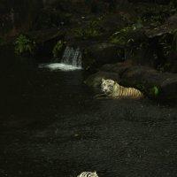 купание белых тигров :: Анна Бушуева
