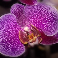 Орхидея :: Юлия Закопайло