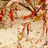 липа  под октябрьским снегом :: Александр Прокудин