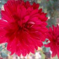 Цветут хризантемы.  А где-то выпал снег... :: Нина Корешкова