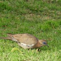 West-peruvian Dove :: чудинова ольга
