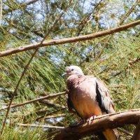Eared Dove :: чудинова ольга