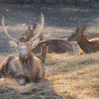 Reindeer :: Алена Иванова