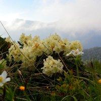Цветущие рододендроны :: Юрий Будаев