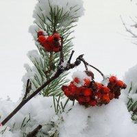 Рябина под снегом :: Павлова Татьяна Павлова