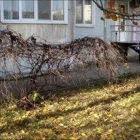 Осенний этюд с виноградной лозой :: Нина Корешкова
