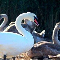 Лебедь :: Виктория Левина