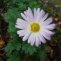 Ещё цветут последние цветы... :: Маргарита Батырева