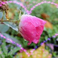 Роза с дождём целовалась, осень его ревновала... :: Nina Yudicheva