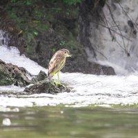 у водопада мнго рыбы :: Адик Гольдфарб