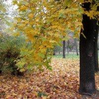 Эти ажурные кленовые листья :: Людмила