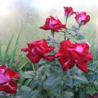 Розы :: Наталья Березко