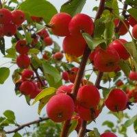 Райские яблочки. :: Анфиса
