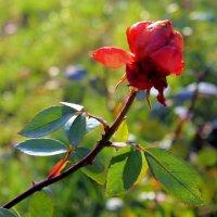 В саду застыли розы.... :: Валентина ツ ღ✿ღ