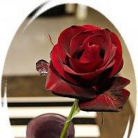 Роза Блек Меджик ( Rose Black Magic ) :: Александр Корчемный