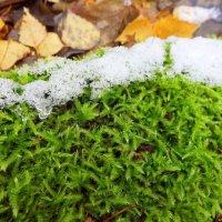 Останется зелёным он под снегом до весны.. :: Андрей Заломленков