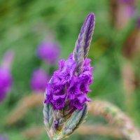 Цветок -Синяк обыкновенный :: Alla S.