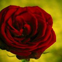 Красный бархат :: Светлана