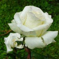 Цветы после дождя (5) :: Милешкин Владимир Алексеевич