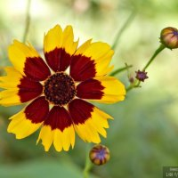 Рудбекия двуцветная (Rudbeckia bicolor) :: Александр Волков