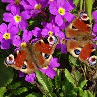 Бабочки. :: Oleg S