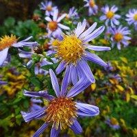 Цветы в ноябре - Сентябринка :: Маргарита Батырева
