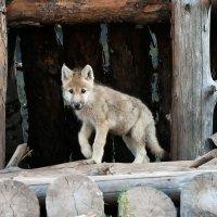Полярный волчонок :: Владимир Максимов