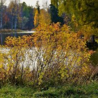 Золотой шиповник на берегу... :: Sergey Gordoff