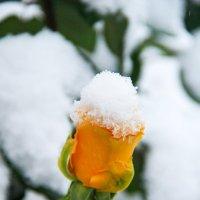 роза и снег :: Oksana Verkhoglyad